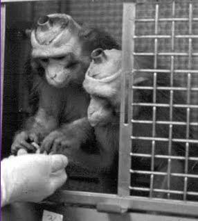 Los tubos y electrodos están permanente implantados en el cráneo de estos animales