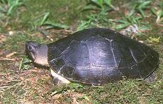 Orlitia Borneoensis