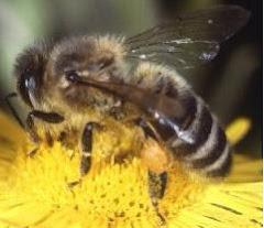 Lebah Hutan Tropika