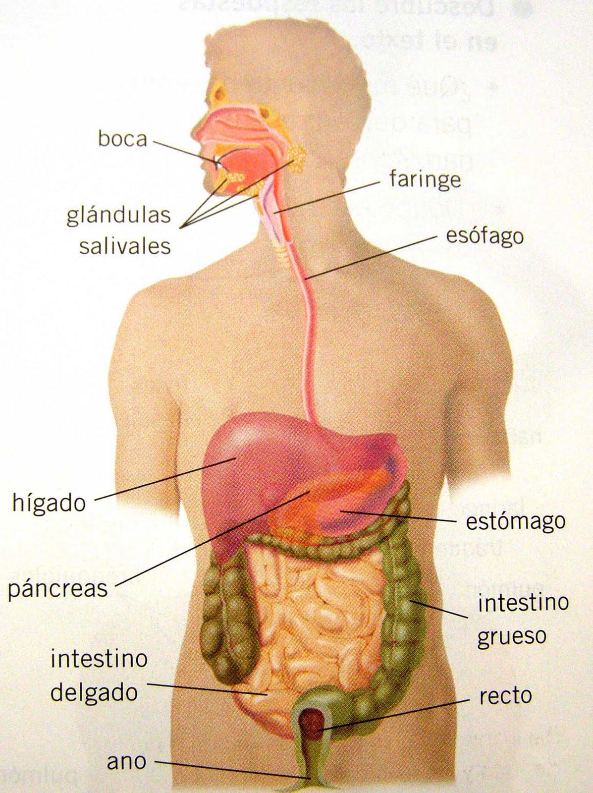 Educación Física en la Red: Órganos del aparato digestivo