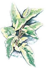 "Scrophularia auriculara ""variegata"""