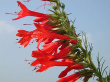 Ipomopsis rubra-Standing Cypress