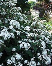 Eupatorium-White Snakeroot, Joe-Pye Weed, Wild Ageratum