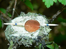 The size of a Hummingbird nest.
