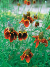 Ratibida-Mexican Hat, Prairie Coneflower