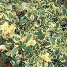 Chiastophyllum(ky-AS-to-fy-lum)-Cotyledon