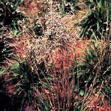 Briza-Quaking Grass