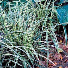 Carex-Sedge