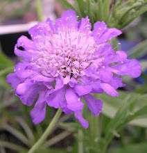 Scabiosa-Pincushion Flower