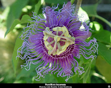 Passiflora incarnata-Maypop Passion Flower