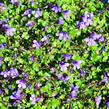 Cymbalaria-Kenilworth Ivy