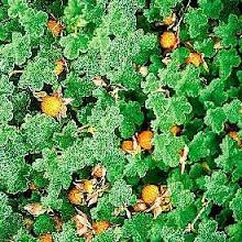 Rubus pentalobus- Creeping Raspberry