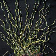 Juncus effusus-Spiral Rush