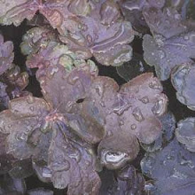 Heucherella-Foamy Bells