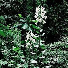 Cardiocrinum giganteum-Giant Himalayan Lily