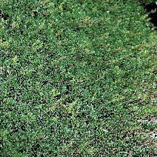 Arctostaphylos uva-ursi-Bearberry or Kinnikinnick