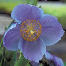 Meconopsis betonicifolia-Himalayan Poppy