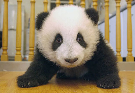 cute anime panda. 1 out of 5 Adorable Pandas: