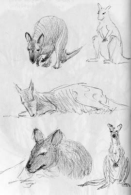 Wallaby de Bennett, Macropus rufogriseus