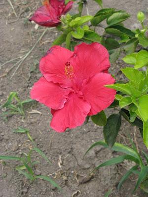 Mis plantas ornamentales en trujillo per las flores de for Plantas ornamentales del peru