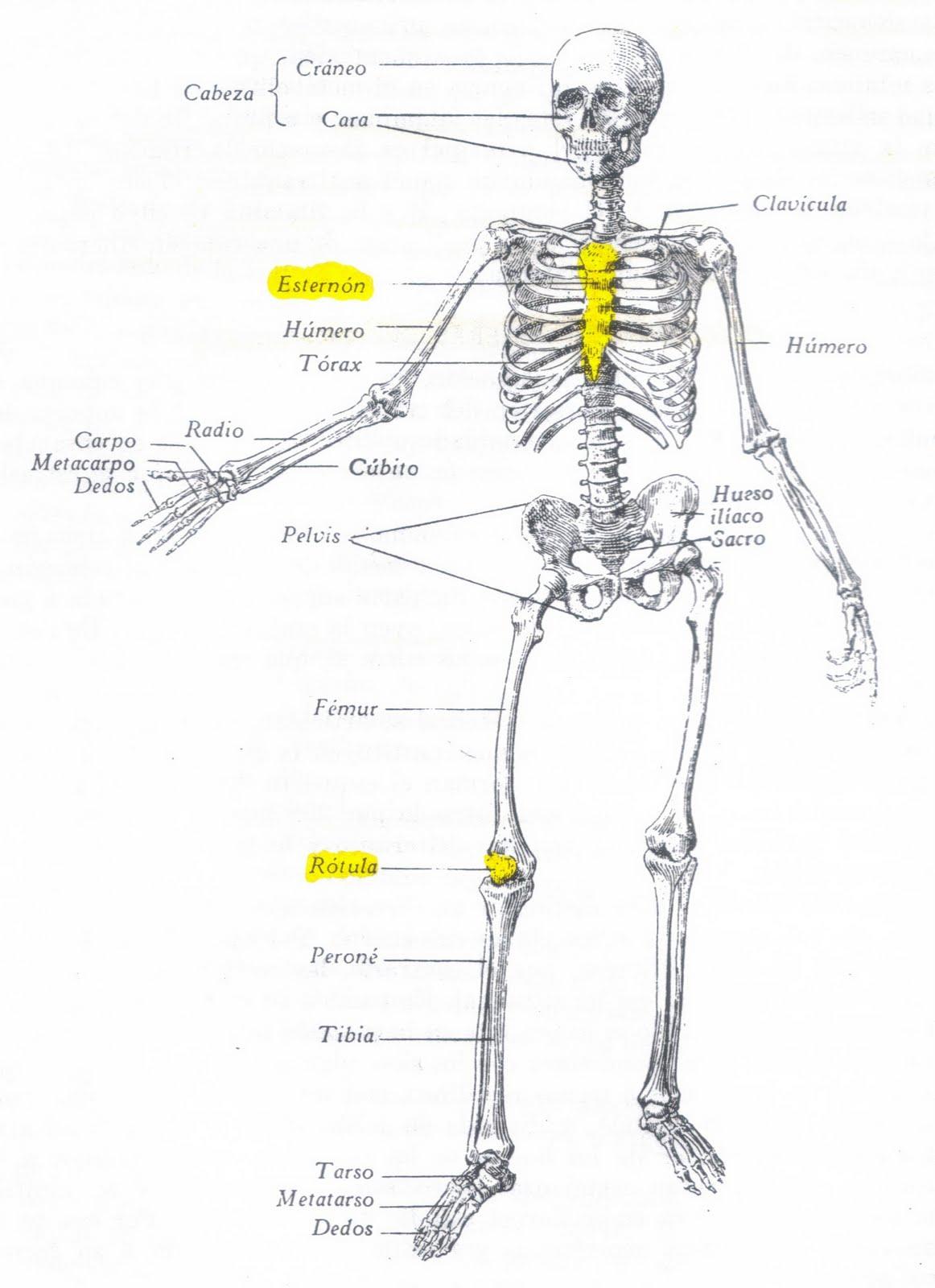Enfermería: ANATOMIA. Constitución general del esqueleto.