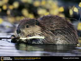 Beaver...