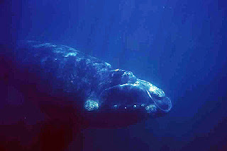 whale underwater photo in Valdes Peninsula Patagonia Argentina