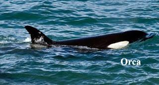 orca in Valdes Peninsula