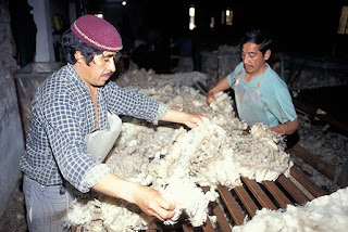 Sheep shearing. The wool business in  Valdes Peninsula