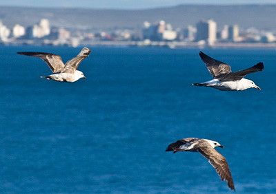 kelp gull in Puerto Madryn