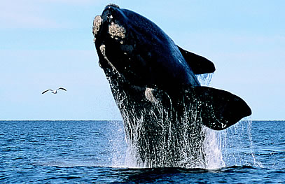 Whale jumping in Peninsula Valdes and a kelp gull flying