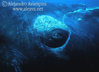 whale underwater in Valdes Peninsula Alejandro Avampini photo