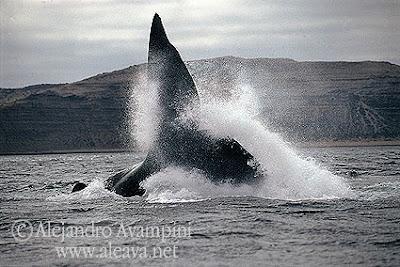 Observação de baleias na Patagônia Península Valdés