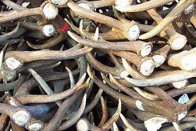La mia preistoria materiali cornei per immanicamenti di for Corna cervo
