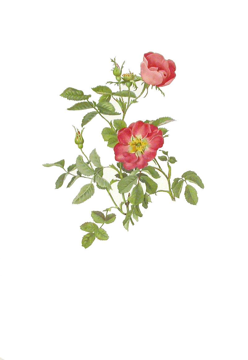 [Rose.jpg]