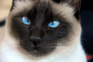 Blue eyse cats wallpaper