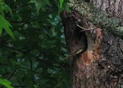 Myiarchus crinitus at nest site