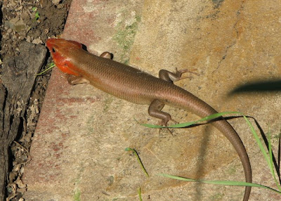 Eumeces laticeps, adult male