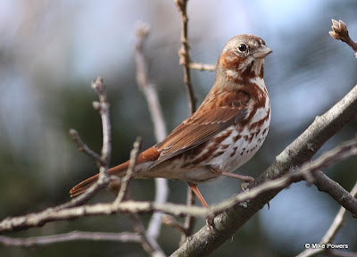 Eastern Fox Sparrow, Red Form