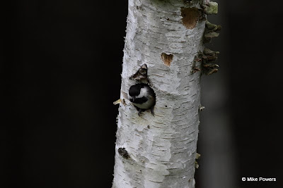 Black-capped Chickadee nesting in Paper Birch