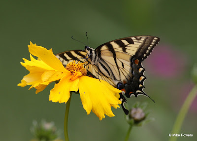 Tiger Swallowtail
