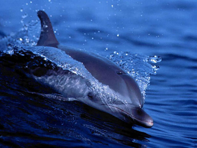 ��� ������� ..������ .. 352b81c26ab6b704020d1bb938536916_Free_Living_Dolphins_Screensaver.jpg