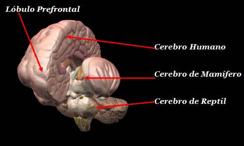del cerebro, está la parte