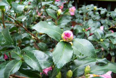 In The Garden Plant Of The Month November 2009 Camellias