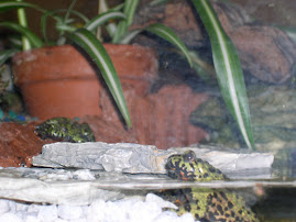 My Fire Belly Toads