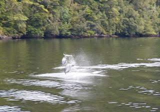 Delfines nariz de botella durante el crucero por el Doubtful Sound