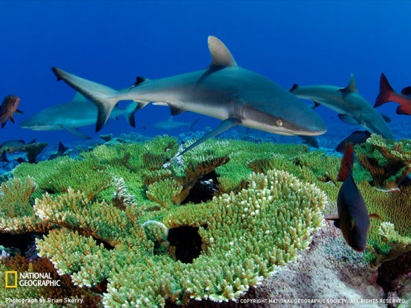 Gray Reef Shark, Kingman Reef