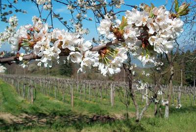 4b ita dalmasso pianezza ciliegio scheda utile per for Pianta di ciliegio