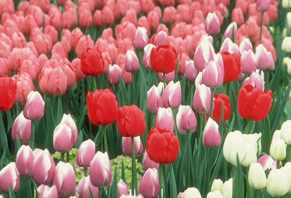 http://4.bp.blogspot.com/_VjWjYs5df6Q/S-N5djc8EFI/AAAAAAAAAcg/inRBUulA1Sw/s1600/Hoa+Tulip+01.jpg