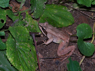 in identify a frog i found the leaping pad a site with tons of f
